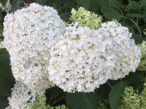 Hydrangea arborescens \'Annabelle\' : Taille 30/50 cm - Pot de 3 litres