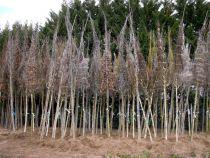 Arbustes de haies en racines nues