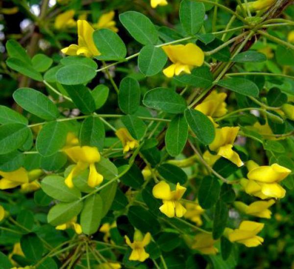 Acacia jaune / Acacia de Sibérie : taille 40/60 cm - Pot de 3 litres