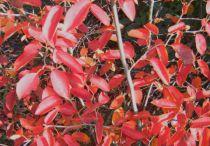 Amélanchier Lamarckii : Taille 40/60 cm - Racines nues