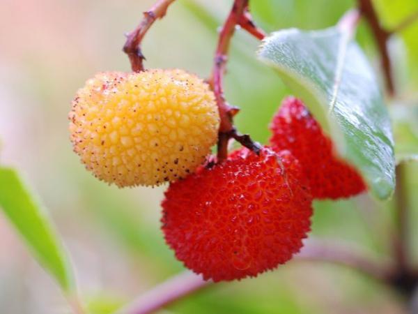 Arbre aux fraises ou Arbousier : Taille 30/+ - Pot de 3 litres