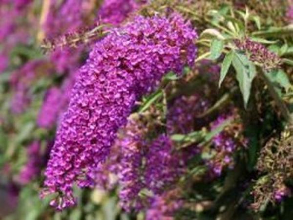 Arbre aux papillons 'Nanho purple' : Taille 15/+ - Godet 9x9 cm