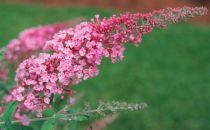 Arbre aux papillons 'Pink delight' : Taille 15/+ - Godet 9x9 cm