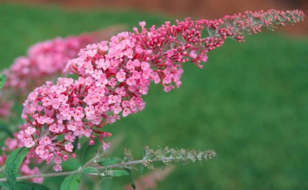 Arbre aux papillons 'Pink delight' : Taille 40/60 cm - Pot de 3 litres