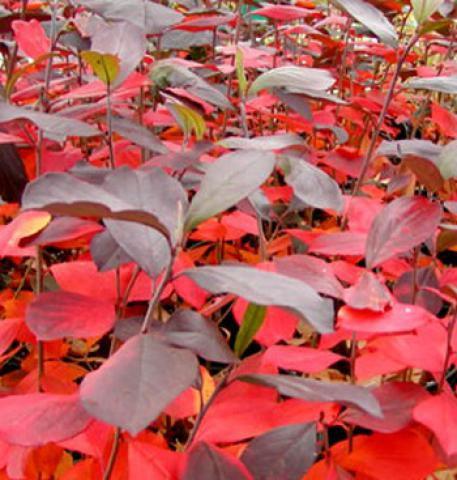 Aronia Arbustifolia Brillant : Taille 40/60 cm - Pot de 3 litres