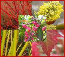 Assortiment d'arbustes special décor d'Automne et d'Hiver : Lot de 5 sujets - Racines nues