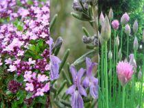 Assortiment d'aromatiques : Thym, Romarin, Ciboulette
