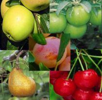 Assortiment de 5 fruitiers basse tige : Taille en gobelet