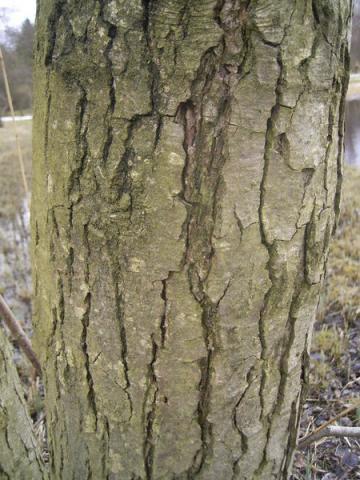 Aulne glutineux : Lot de 25 pieds - taille 60/90cm - Racines nues