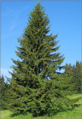Épicéa commun ou Sapin de Noël : Lot de 10 plants - Taille 30/40 cm Racines nues