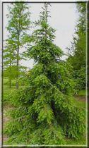 Épicéa de Serbie : Le lot 10 plants - Racines nues