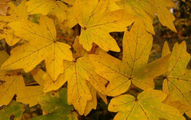 Érable champêtre : Lot de 25 pieds - Taille 60/80 cm - Racines nues