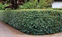 Érable champêtre : Lot de 25 pieds - Taille 80/120 cm - Racines nues