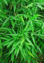 Bambou Fargesia Murielae 'Jumbo' : Taille 50/60 cm - Pot de 3 litres