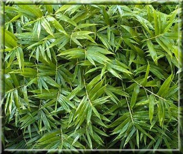 Bambou nain : Pleioblastus pygmea distichus : Godet 9x9 cm