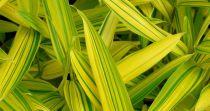 Bambou nain : Taille 20/30 cm - Pot de 2 litres.
