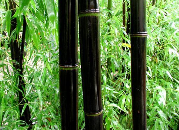 Bambou Noir Taille125 150 Cm Pot De 10 Litres
