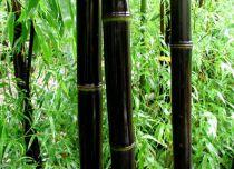 Bambou noir : Taille125/150 cm - Pot de 10 litres.