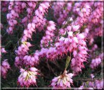 Bruyère / Erica d (x) 'J.W. Porter' : rose pourpre - Godet 10,5