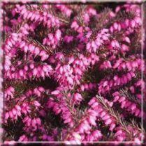 Bruyère / Erica d (x) 'Kramer's Rote' : rouge magenta - Godet 10,5