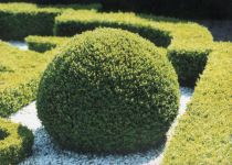 Buis Sempervirens : Lot de 25 pieds en racines nues - Taille 30/35 cm