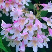 Buisson de beauté 'Pink Cloud' : Taille 30/50 cm - Pot de 3 litres