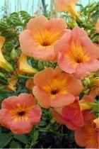 Campsis Grandiflora : Taille 50/+ cm - Pot de 2 litres