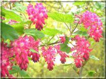 Cassis fleurs : Taille 40/60 cm - Pot de 3 litres