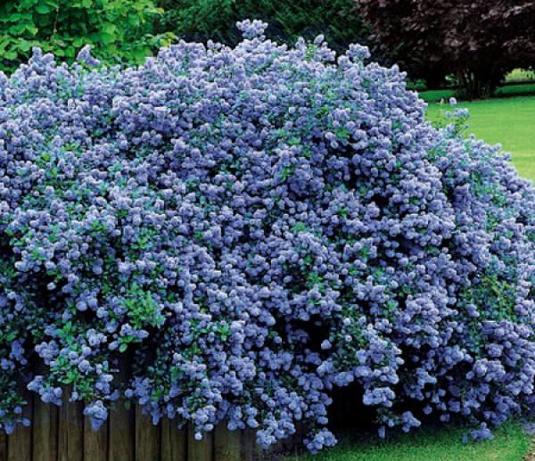 ceanothus thyrsiflorus repens ceanothe rampant taille 25 30 cm pot de 2 litre jardin. Black Bedroom Furniture Sets. Home Design Ideas