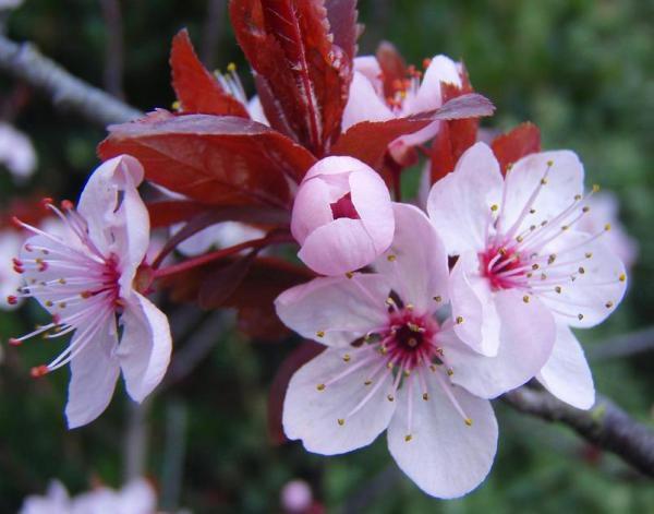 Cerisier a fleurs Pissardii : Taille 70/80 cm - Racines nues