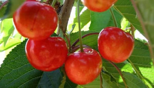 Cerisier Bigarreau 'Burlat' : basse tige / gobelet