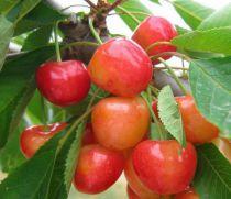 Cerisier Bigarreau 'Napoléon' : basse tige / gobelet