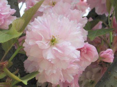 prunus kiku shidare sakura cerisier pleureur fleurs jardin des gazelles jardinerie en ligne. Black Bedroom Furniture Sets. Home Design Ideas