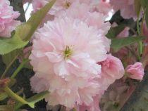 Cerisier pleureur à fleurs : Taille 120/+ cm - Racines nues