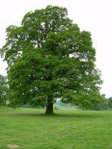 Chêne pédonculé : Taille 60/90 cm - Lot de 20 pieds - Racine nues