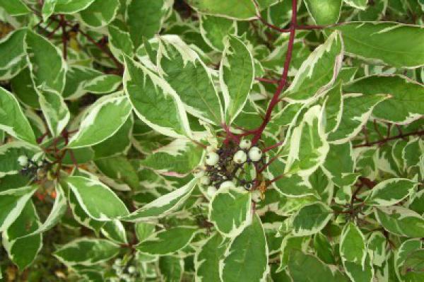 Cornouiller 'Alba Elegantissima' : Taille 40/50 cm - Racines nues