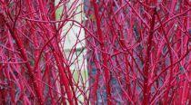 Cornouiller 'Alba Sibirica' : Taille 40/50 cm - Racines nues