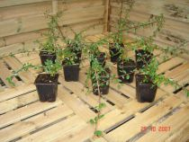 Cotoneaster skogholm : Lot de 12 pieds - Godet 9x9 cm