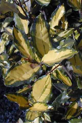 CHALEF / Elaeagnus Pungens Maculata : Taille 30/40 cm - Pot de 3 litres