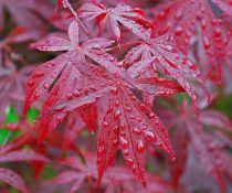 Erable du Japon : Acer Palmatum : Taille 40/+ cm - Pot de 2 litres