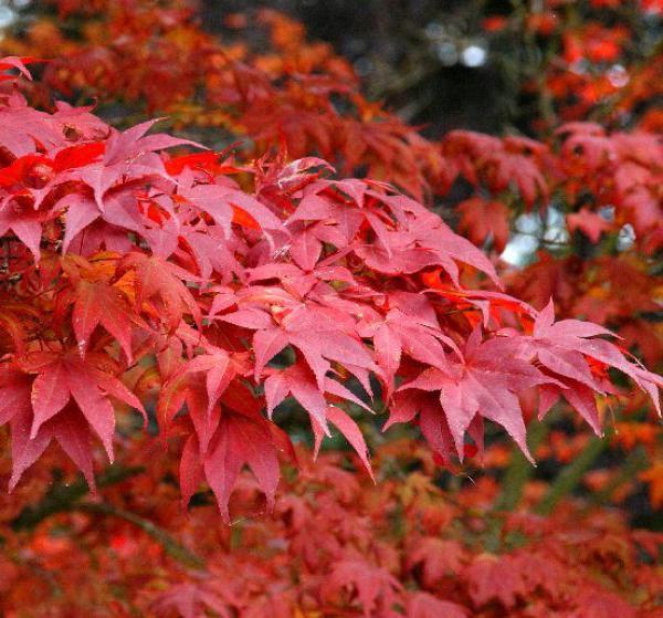 Erable du japon : Acer Palmatum Atropurpureum : Taille 40/+ cm - Pot de 2 litre