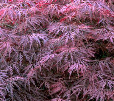 acer palmatum grimson queen erable du japon 39 grimson queen 39 jardin des gazelles jardinerie. Black Bedroom Furniture Sets. Home Design Ideas