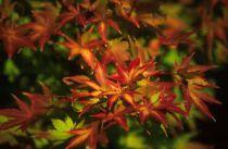 Erable du Japon 'Sangokaku' : Taille 40/+ cm - Pot de 2 litres