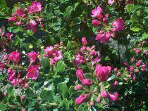 Escallonia rubra macrantha : Taille 40/+ cm - Polt de 2 litres