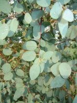 Eucalyptus Gunnii : Taille 60/80 cm - Pot de 1,5 litres