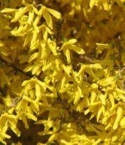 Forsythia Marée d'Or : Taille 20/25 cm - Pot de 2 litres