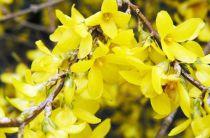 Forsythia x intermedia 'Lyndwood' : Taille 50/60 cm - Pot de 3 litres