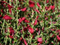 Genêt à balai 'Boskoop Ruby' : Taille 40/60 cm - Pot de 3 litres