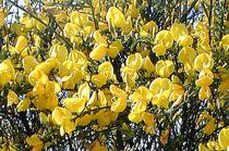 Genêt précoce 'Allgold' : Taille 40/60 cm - Pot de 3 litres