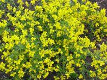Genista lydia : Lot de 3 plants - Godet de 9x9 cm